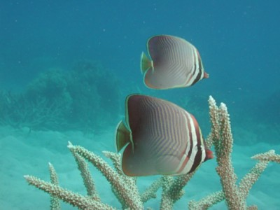 butterflyfish resized