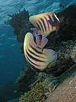 Pair of 6 Banded Angelfish