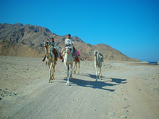 Dahab Bedouin kids with their camels