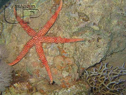 Egyptian Sea Star