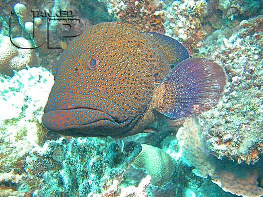 Peacock Grouper