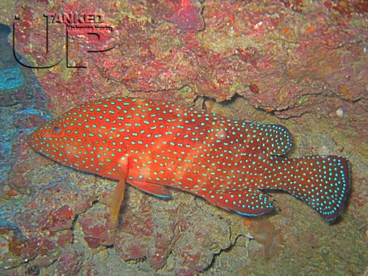 Coral Hind or Jewel Grouper