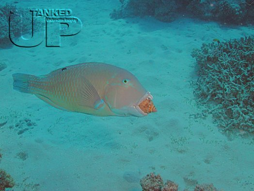 Parrotfish chewing on a shell