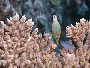 Harlequin File Fish