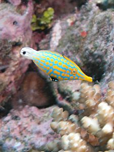 Harlequin Filefish