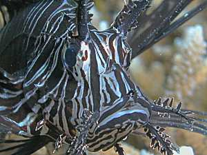 Black Lionfish close-up