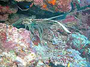 Painted Spiny Lobster