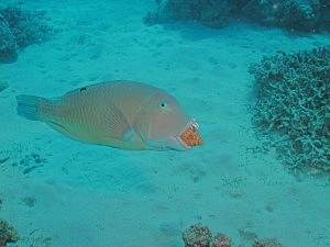 Parrotfish with shell