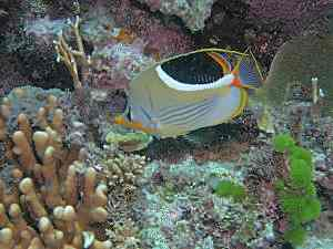 Saddleback Butterfly Fish