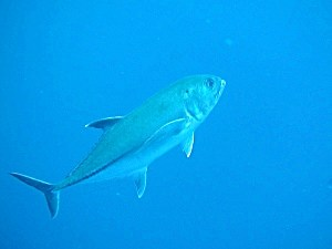 Big-Eye Trevally