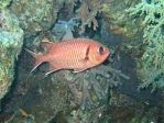 Red Soldierfish