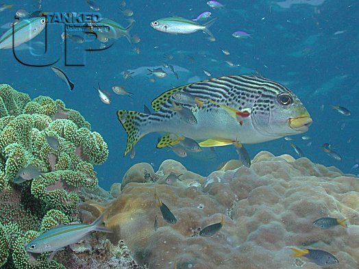 Black Spotted Sweetlips